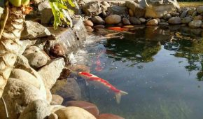 pond koi with a waterfall