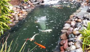 waterfall as a filtration system at koi pond