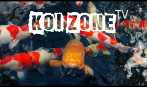 unscripted reality show Koi Zone